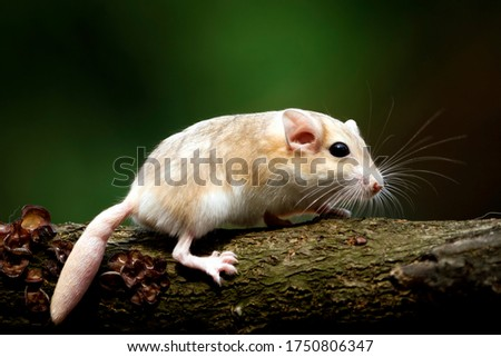 Cute gerbil mouse closeup face, Garbil mouse on flower