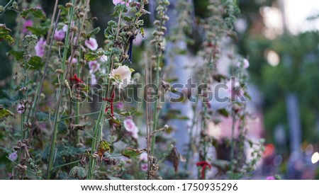Useful Hollyhock picture for the Powerpoint background