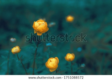 Asian swimmer with large yellow inflorescences on a dark green background. Wild yellow flowers of European globular cabbage on a forest lawn close-up.
