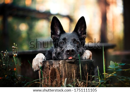 the dog lays its head on a stump and shows its tongue. Shepherd shows a trick