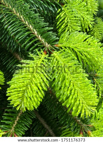 Spruce branch. Beautiful branch of spruce with needles. Christmas tree in nature. Green spruce. Spruce close up.  #1751176373