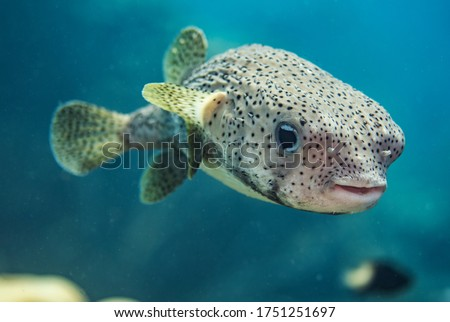 A Porcupine Pufferfish in the open water in Bonaire.