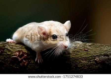 Cute gerbil mouse closeup face, Garbil mouse on wood