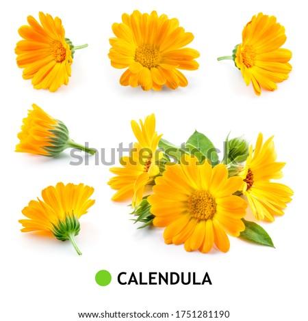 Calendula. Calendula flower isolated. Marigold on white. Calendula with leaves.