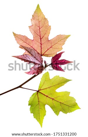 Acer foliage, Colorful maple leaves, isolated on white background with clipping path  #1751331200