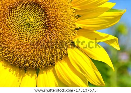 sunflower in the garden #175137575