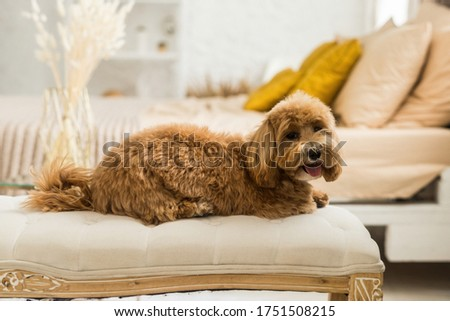 Happy toy poodle sit on white armchair and show tongue in camera. Side view of ginger dog look up
