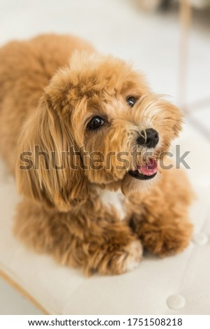 Toy poodle lying on white armhair and muzzle in camera. The close up portrait of ginger dog