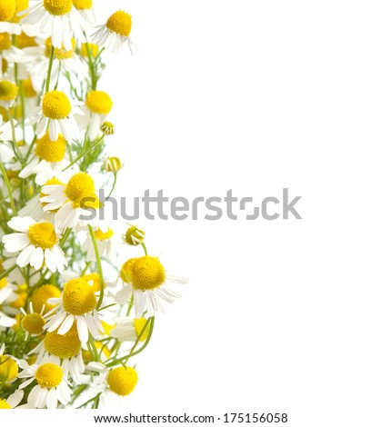 Chamomiles border isolated on white background. shallow depth of field. #175156058