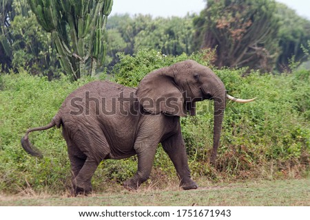 An old one tusked Elephant cow acts in an obviously agitated manner as she covers her breed herd moving off into the cover of thick Euphorbia bush. #1751671943