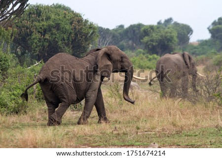 An old one tusked matriarch (Elephant cow) acts in an obviously agitated manner as she covers her breed herd moving off into the cover of thick Euphorbia bush. #1751674214