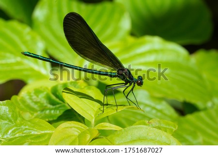A male Ebony Jewelwing damselfly is resting on a green leaf. Also known as a Black-winged Damselfly. Taylor Creek Park, Toronto, Ontario, Canada.
