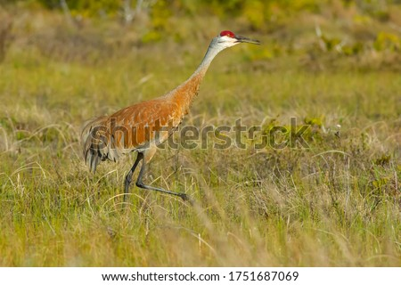 A Sandhill Crane walking and in a grassy field in the late afternoon sun. Bruce Peninsula National Park, Bruce County, Ontario, Canada. Royalty-Free Stock Photo #1751687069