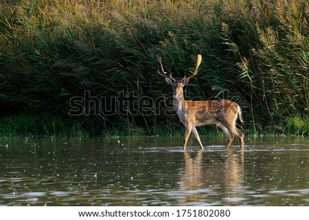 The fallow deer (Dama dama) is a ruminant mammal belonging to the family Cervidae. This common species is native to Europe.