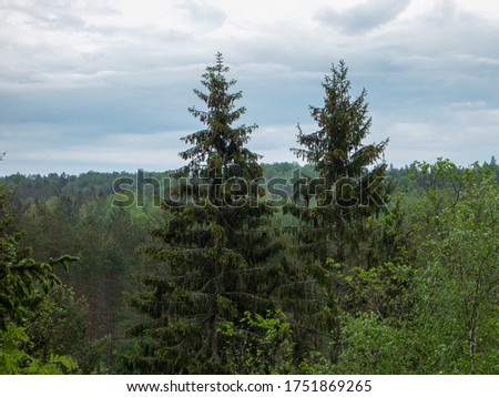 Pine / spruce forest. Pine with cones in trees. Wild forest. Royalty-Free Stock Photo #1751869265