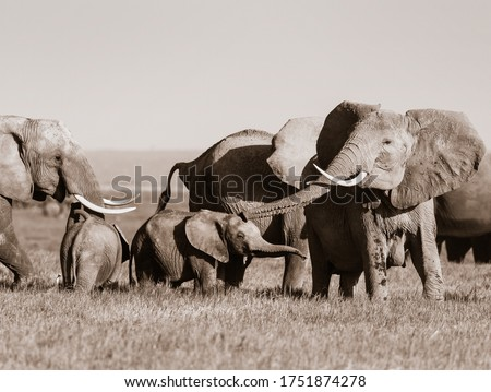 Large elephant flaps her ears out and lifts her trunk to trumpet sound as baby calf also plays with trunk stuck out. Amboseli National Park, Kenya, Africa. Black and white monochrome