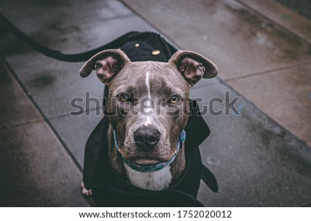 Beautiful PitBull poses for a picture