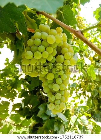 Close up of Grapes Hanging on Branch in Grapes Garden.Sweet and tasty white grape bunch on the vine.Green grapes on vine, shallow depth of field.Branch of grapes ready for harvest.Selective Focus. #1752118739