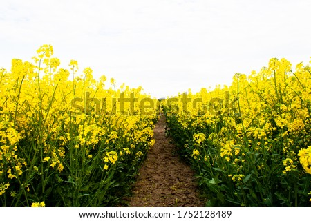 Beautiful field of yellow rape. A closeup photo of a rapeseed flower. Growing seeds of agricultural crops. Rapeseed oil. Spring, sunny landscape with blue sky. Wallpaper of nature in Belarus. Isolated #1752128489