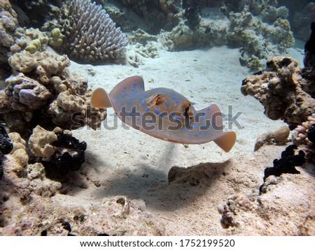 Taeniura lymma, Stingrays - Batoidea Stingray Family, Spotted Stingrays,