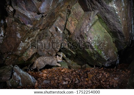 European wildcat in beautiful nature habitat. Very rare and endangered animal. Felis silvestris. Wild eurasian animals. European wildlife. Wildcats. Royalty-Free Stock Photo #1752254000