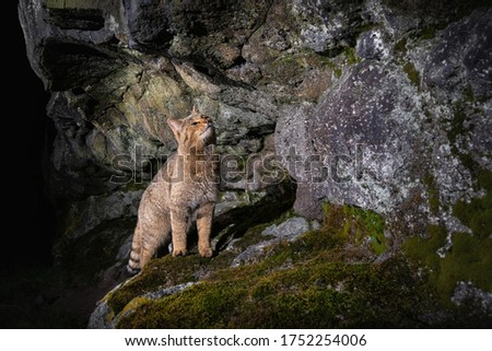European wildcat in beautiful nature habitat. Very rare and endangered animal. Felis silvestris. Wild eurasian animals. European wildlife. Wildcats. Royalty-Free Stock Photo #1752254006