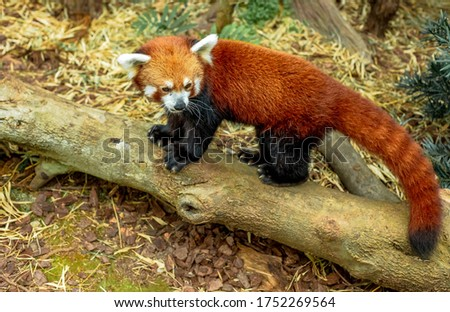 Wildlife scene - red panda is walking on the tree with green leaves. Cute panda bear in natural habitat in the wood
