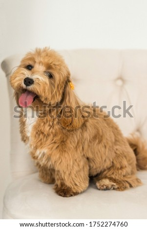 Happy toy poodle sit on white armchair and show tongue in camera. Close up portrait of ginger dog