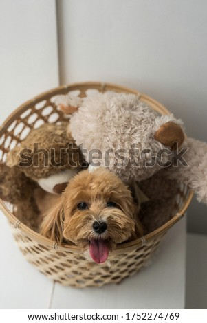 Toy poodle sit on brown basket and look in camera. The portrait of ginger dog with pink tongue