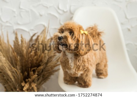 Smiling toy poodle stand on white chair and show tongue in camera. The portrait of ginger dog with yellow hairpin
