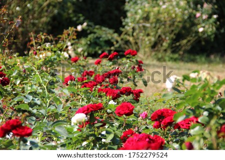 Beautiful red roses in the garden. Natural floral background. Hd wallpaper flowers nature wallpapers for desktop backgrounds.
