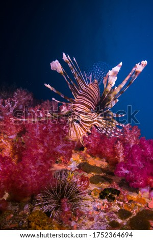 Undersea Pterois Lionfish, Zebrafish, Firefish, Turkeyfish, Tastyfish, Butterfly-cod with Pink Soft Coral Alcyonacea Dendronephthya sp. and Sea Urchin Common Tropical Reef Life of Indo-Pacific ocean.