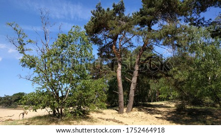 Crown dying birch tree in Veluwe National Park in the Netherlands - Desertification. The impact of climate change appears to be largest on elevated sandy soils of the Pleistocene uplands #1752464918