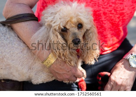 Happy woman hugging curly funny little poodle. Beautiful dog breed toy poodle in her hands. Girl's love for a pet. portrait of a Cute brown poodle with his young woman.