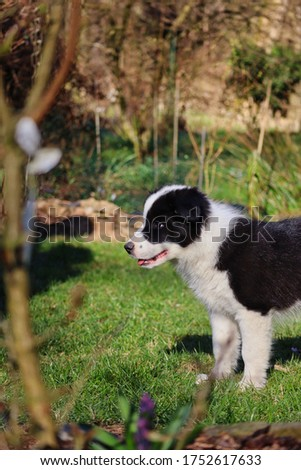 Border Collie Puppy Smiles in the Garden of Czech Republic. Black and White Puppy Enjoys Sun in Spring.
