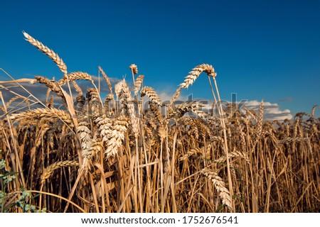 Grain Wheat Field Fields Wheat Field Agriculture Grain Field Nature Plants FRG Germany Ears Grain Field Backlight Sunlight Sun Sunset Light mood #1752676541