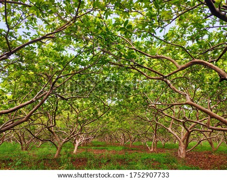 Guava field, branches of guava trees, green leafs of guava, inside view of guava field. #1752907733