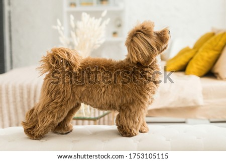 Happy toy poodle stand on white armchair. Side view of ginger dog look up