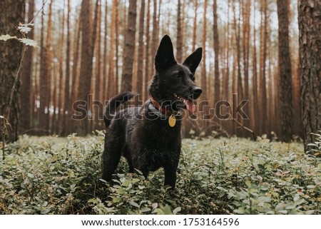 Happy adult black mixed breed dog standing in a pine forest Royalty-Free Stock Photo #1753164596