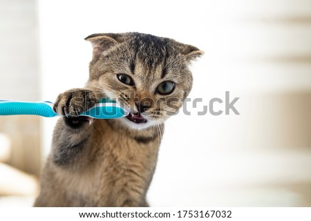 British kitten and a toothbrush. The cat is brushing his teeth Royalty-Free Stock Photo #1753167032