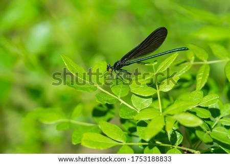 Ebony Jewelwing on Leaf in Springtime