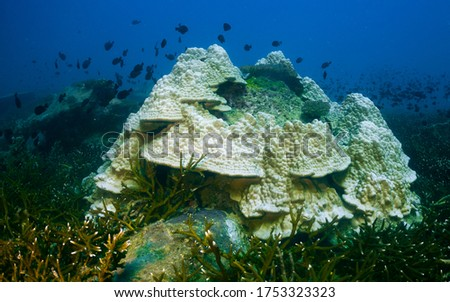 Bleaching Corals Environment Undersea Tropical Ocean - Stony Hard Scleractinian Coral on Staghorn Coral Reefs turns White. No Microscopic Algae Zooxanthellae in Polyps Tissue. No Zooplankton.