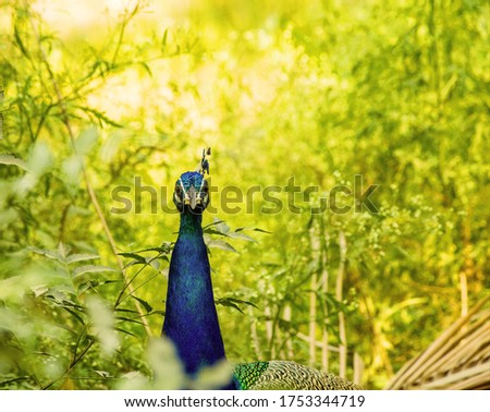 one of the most beautiful pic of Indian colourful bird peacock