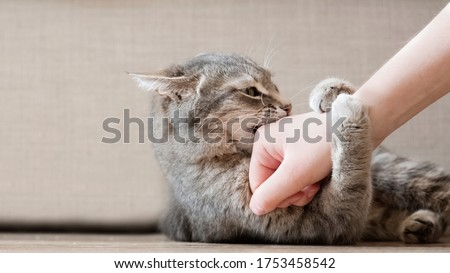Aggressive gray cat attacked the owner's hand. Beautiful cute cat playing with woman hand and biting with funny emotions. Royalty-Free Stock Photo #1753458542