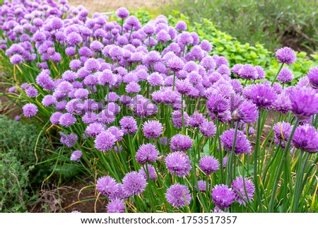 Chives, scientific name Allium schoenoprasum #1753517357