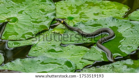 The grass snake (Natrix natrix Persa) ringed or water snake lying on leaves water lily leaves and preys on frogs in garden pond. Eurasian non-venomous snake feeds almost exclusively on amphibians. Royalty-Free Stock Photo #1753519193