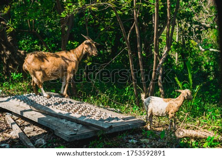 picture of a mother goat and her child
