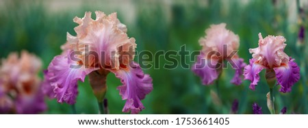 Banner beautiful multi-colored iris flower grow in the garden. Close-up of a flower iris on blurred green natural background. Full Bloom trend. Shallow depth of field.