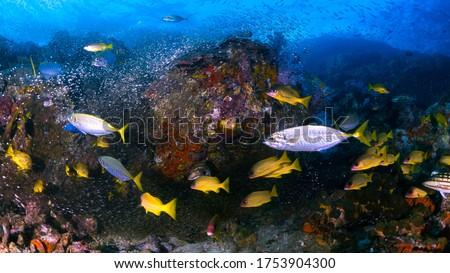 Undersea environment scenery / wide angle scenic view of Common Tropical Indo-Pacific Coral Fishes in the sea, aqua marine world with diverse complex reef life in natural habitats in panorama.