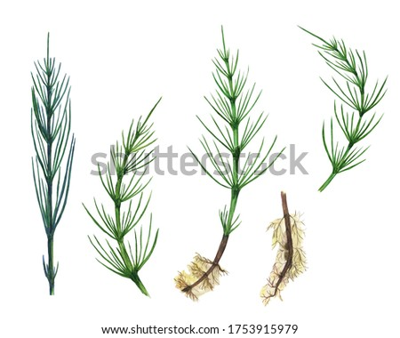 Horsetail field set isolated on white background. Watercolor hand drawn illustration Equisetum. Perfect for medical and cosmetic herb design. Clip art.